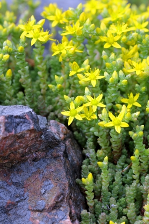 Close up of yellow Sedum acre (Goldmoss Stonecrop or Biting Stonecrop). Photographed in Salo, Finland, June 2012. Stock Photo