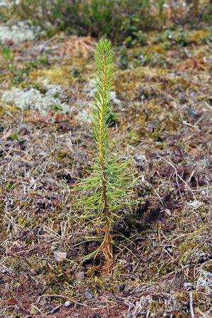 Newly planted one year old pine tree seedling growing in forest floor. Photographed in Salo, Finland July 2012 Stock Photo - 14315486