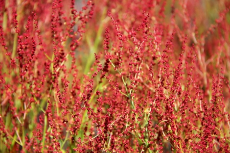acetosella: Plant background of flowering Rumex acetosella or Sheep Sorrel  Stock Photo