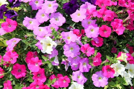 trailing: Background of multicolored trailing Petunia flowers  Stock Photo