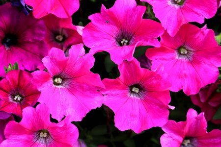 Background of bright pink Petunia flowers, focus on petals  photo