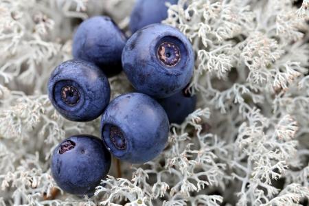 bilberries: Close up of wild bilberries (Vaccinium myrtillus) on Cladonia stellaris lichen in forest. Stock Photo