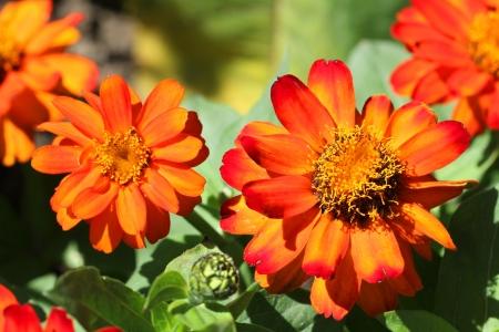 patula: Bright orange flowers of Tagetes patula (French Marigold) in sunlight. Stock Photo