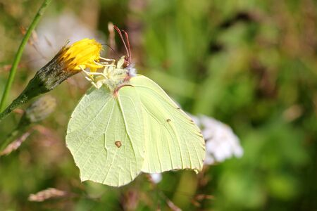Close up of Gonepteryx rhamni or Brimstone butterfly, female, feeding on yellow flower    photo