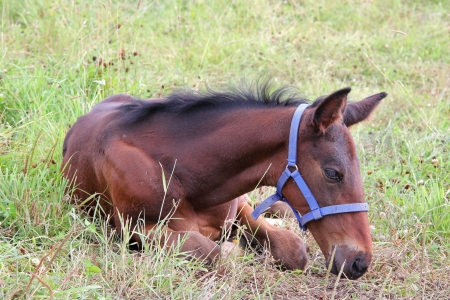 Little brown foal of horse resting on grass  photo