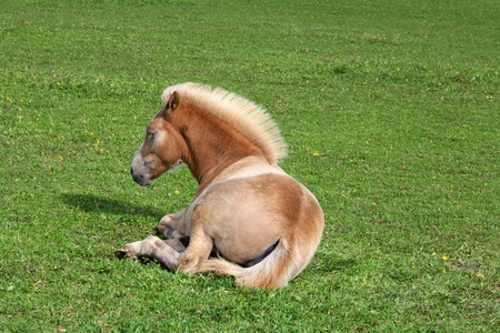 filly: Finnhorse filly of cream palomino color, a coldblood breed, resting on green grass  Stock Photo