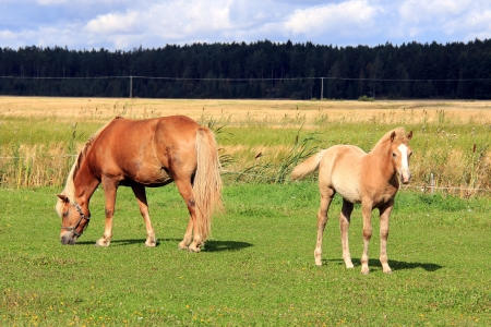 filly: Palomino Finnhorse mare and filly on green grass meadow at end of summer.in Salo, Finland 2012. Stock Photo