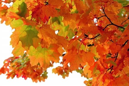 Colorful leaves of Maple tree in autumn over white background