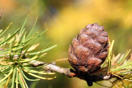 larix sibirica: Cone of Siberian Larch or Russian Larch Tree, Larix sibirica, in autumn Stock Photo