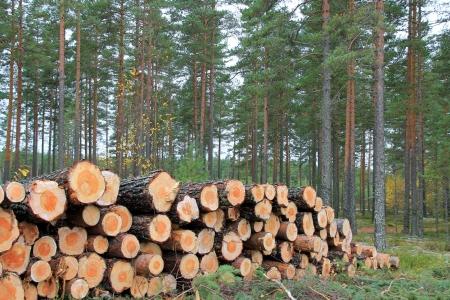 Pila de troncos de pino en el bosque de pinos en otoño