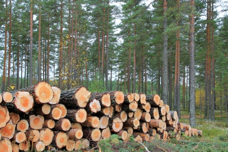 Stack of pine logs in pine forest in autumn