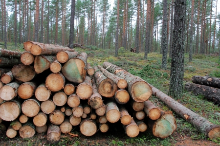 Stack of spruce logs in forest in autumn   Stock Photo