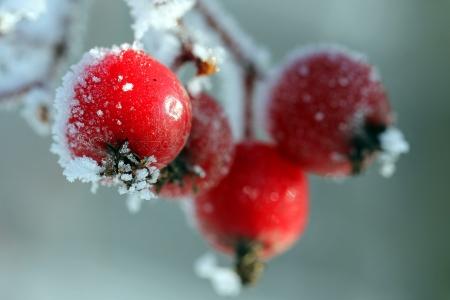 jarzębina: Czerwone jagody jarzębiny pokryte lodem i mrozem, odpowiednie dla zdjęć świątecznym