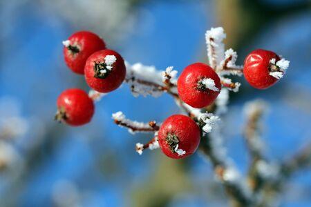 Red rowan berries or ash berries in winter frost against blue sky  photo