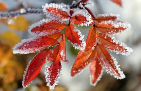 Frost on the colorful rose leaves in early winter  Stock Photo