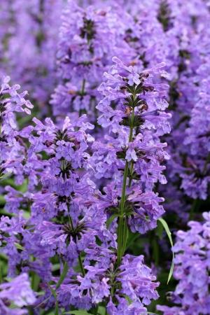 Flores púrpuras de Hyssopus officinalis cerca.
