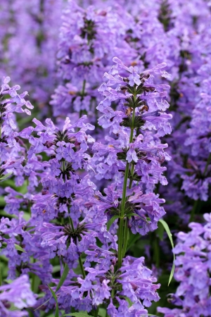 Purple flowers of Hyssopus officinalis close up. Stock Photo