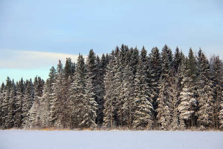 Snow covered spruce tree forest, snowy field and pale sky in winter   photo