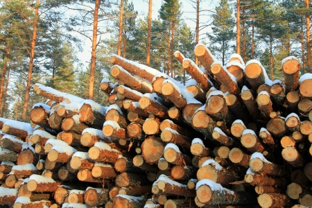 Close up of cut and snow covered pine logs in winter pine forest  Stock Photo