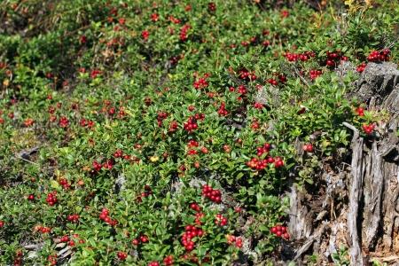 mountain cranberry: Cowberries  Vaccinium vitis-idaea  growing in forest floor   Stock Photo