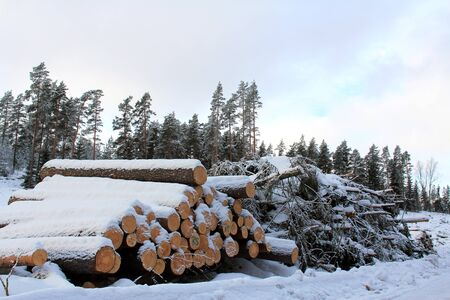 timber harvesting: Stacks of logs and brash wood for energy stacked by winter forest road, with frosty pine tree forest in the background