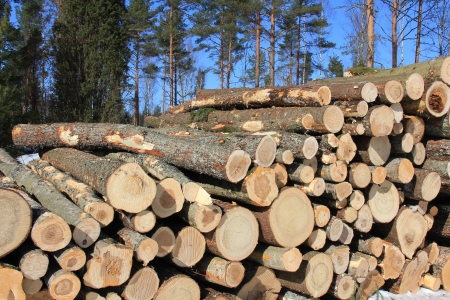 Stack of wooden logs with coniferous forest and blue sky background. Stock Photo