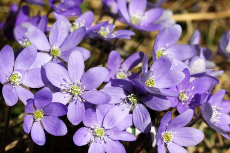 nobilis: Lots of Hepatica Nobilis flowers blossoming at spring.