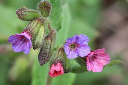 Flowers of Pulmonaria obscura close up  Some of its flowers change color from pink to blue as they age  photo