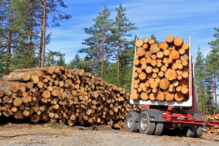 timber harvesting: Stack of logs and trailer full of timber in forest on a sunny day