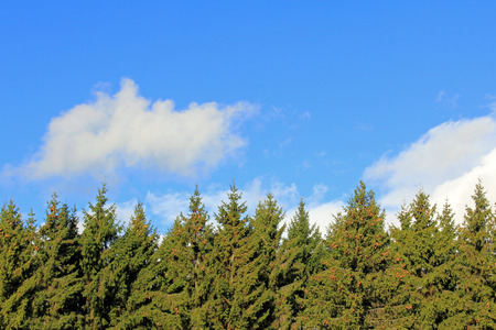 picea: Natural Background with Fir or spruce tree tops and blue sky with fluffy white clouds. Great for backgrounds. Stock Photo
