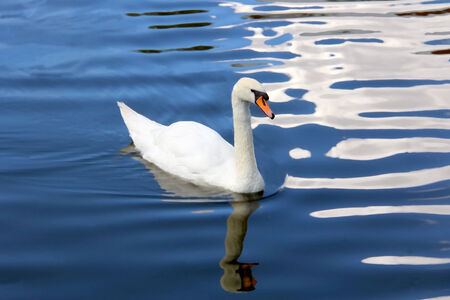 White swan swimming in a blue pond with white clouds reflecting on the surface of the water  Filters  Surface blur applied on the water   photo