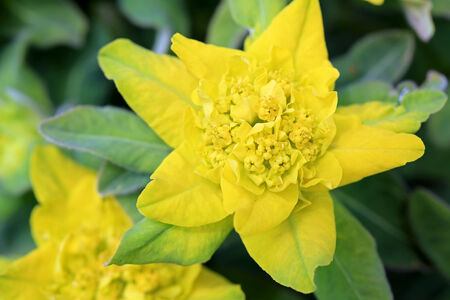 Yellow flower of Euphorbia polychroma, commonly called Cushion Spurge, close up at spring.