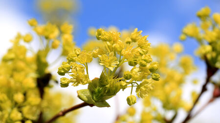 Green Maple tree blossoms close up against clear sky at spring. photo