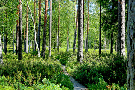 Wooden footpath through green forest at summer. photo