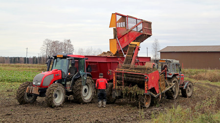 SALO, FINLAND - OCTOBER 18, 2014: Harvested sugar beet being unloaded on agricultural trailer in South of Finland. The annual crop is estimated to be 40 tons per 1 ha.
