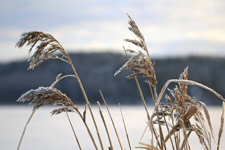 phragmites: Frost on Common Reed seed heads (Phragmites australis) on the sea shore in winter.