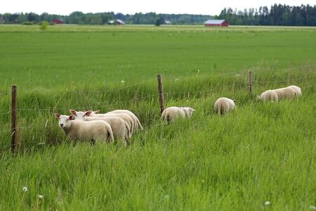 other side of: Group of young sheep eating clover leaves from the other side of the fence of their green pasture  at summer. Sheep find that grass is greener on the other side. Stock Photo
