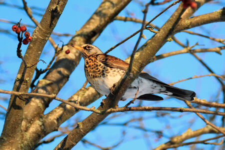 pilaris: Fieldfare, Turdus pilaris, is sitting on a branch of a tree and eating Rowan berries on a clear winter day. Stock Photo
