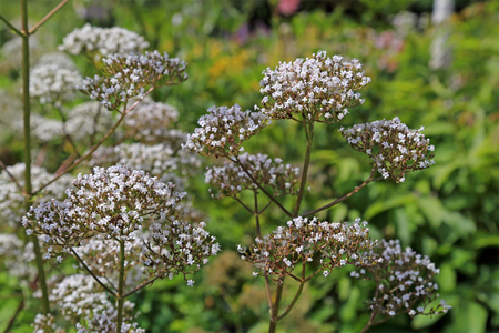 valerian: Flowers of Valeriana Officinalis or Valerian plant, often used to treat insomnia in herbal medicine, in the garden at summer.