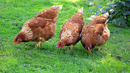 cluck: Three brown chicken eating grain and grass on a farm yard at summer. Stock Photo