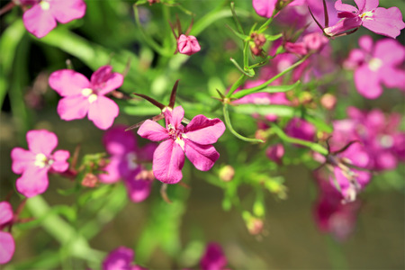 lobelia: Pink Lobelia erinus flowers close up, shallow depth of field.