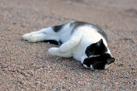 purring: Happy black and white cat is purring and rolling on the ground. Shallow depth of field. Stock Photo