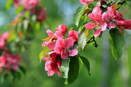 crab apple tree: Pink flowers of an ornamental Grab apple tree close up, shallow depth of field.
