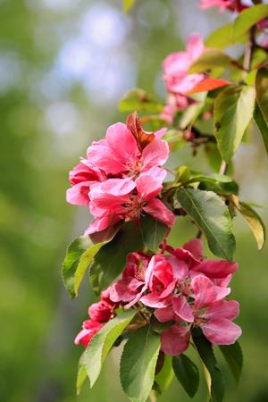 crab apple tree: Pink flowers of an ornamental Grab apple tree close up.