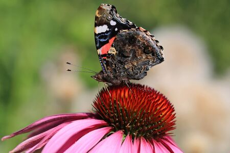 admiral: Red Admiral, Vanessa atalanta butterfly feeding on Purple Coneflower. Stock Photo