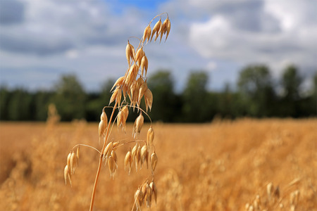 oat plant: Close up of one ripe Oat or Common Oat plant, Avena sativa, growing on rural oat field in autumn. Copy space right, blurred background to show the detail.