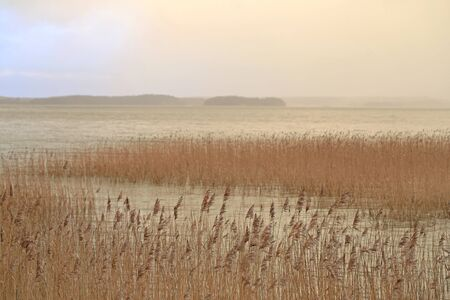 common reed: Seashore with common reed and fog over sea on a cloudy winter afternoon in Finland.