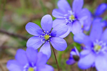 nobilis: Blue flowers of Hepatica nobilis, focus on single flower. Enhanced image, suitable for backgrounds. Stock Photo