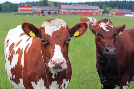 farmstead: Close up of two cows on green field with farmstead background, shallow dof, with focus on the cow on the left with cool expression.