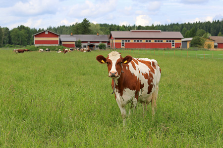 farmstead: Cow standing on a green grass field with more cows and farmstead on the background. Shallow depth of field.